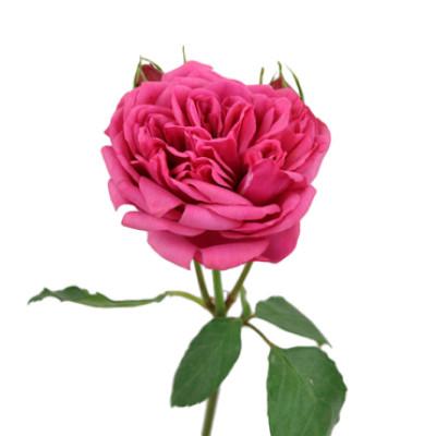 Пионовидная роза Пиано